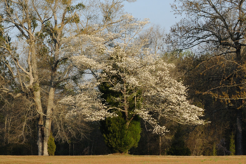 I saw this on our drive to Mobile.  It was a dogwood growing out of a cedar.  Being Good Friday, I tend to think on Christ and how he is identified with these two trees.  In the Middle East, the Cedars of Lebanon are representative of Christ.  In America, the dogwood is representative of the sacrifice of Christ.  The dogwood has a legend that says that the print of each nail is shown on the tip of each petal and the center of the flower is representative of the crown of thorns.  Such a perfect find for this Good Friday.