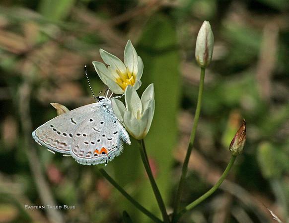 Butterflies................SKIPPERS
