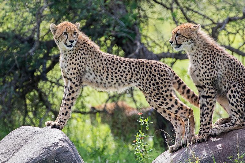 Cheetah Cubs 1702259107.jpg