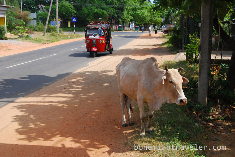 cow and tuk tuk.jpg