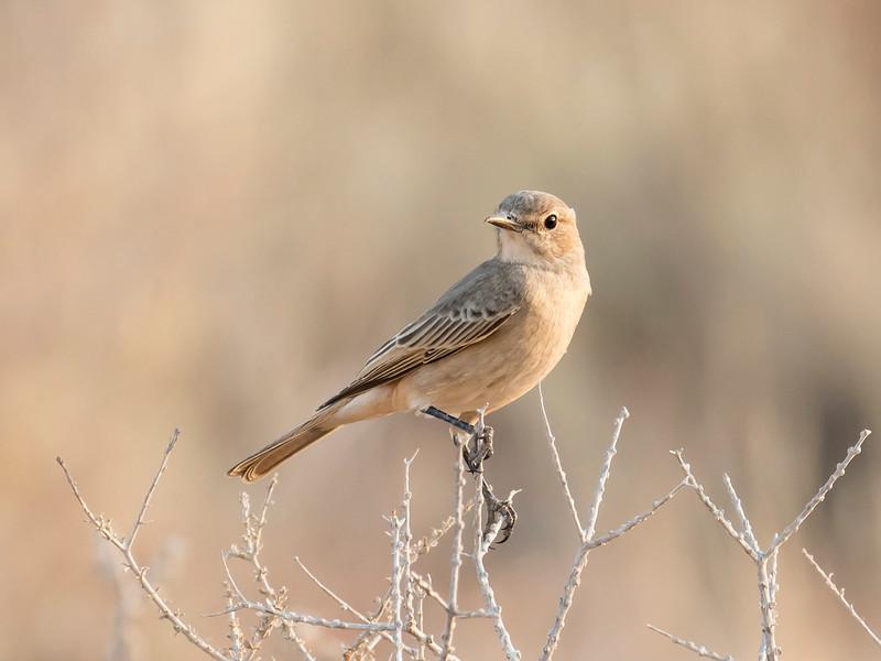 Chat-flycatcher