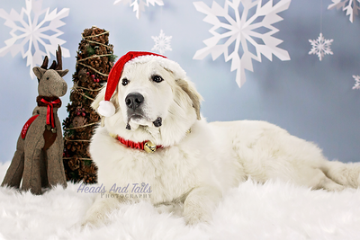 Christmas Mini Sessions, Dog Photography Portraits