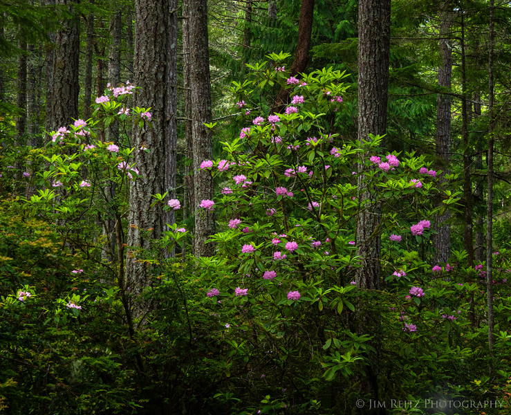 Washington's State Flower - the Pacific Rhododendron. Scenic Beach State Park, near Seabeck.