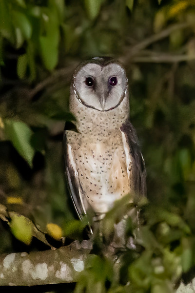 Sulawesi Masked Owl