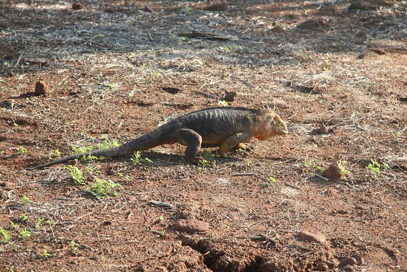 2007-02-21-0009-Galapagos with Hahns-Day 5, North Seymour-Land Iguana.JPG