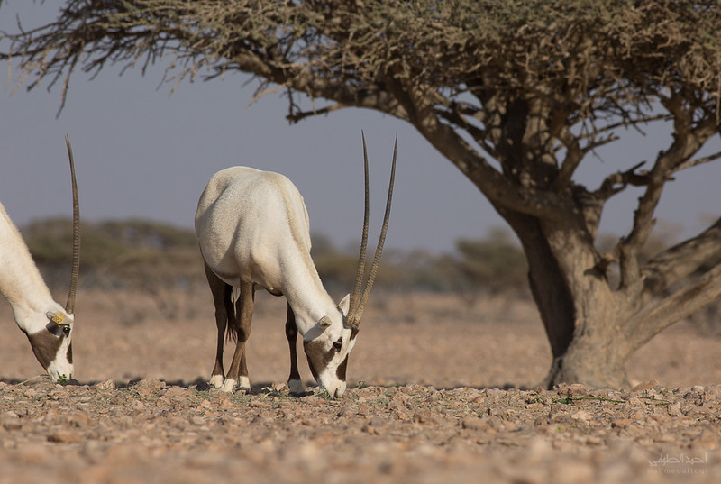 Arabian Oryx (65).jpg