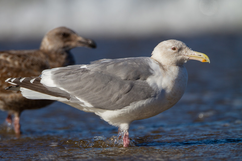 Western X Glaucous-winged Hybrid Gull - Half Moon Bay, CA, USA