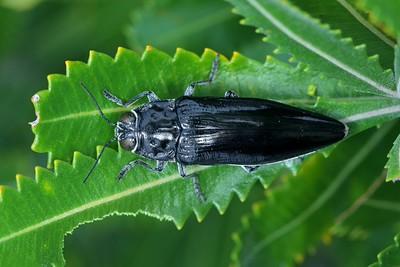 genus Cyrioides
