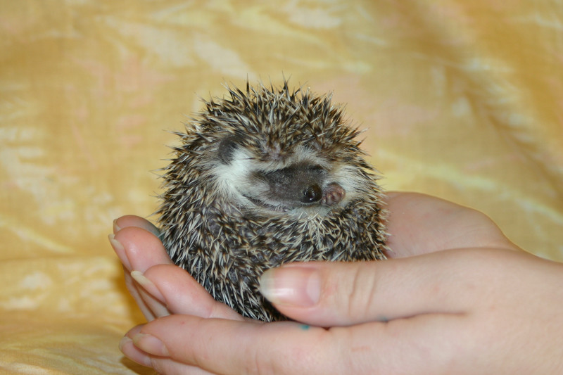 Litter - Static and Monochrome (10/21/2004)  Foster  Filename reference: 20041205-052820-HAH-Hedgehog_Babies