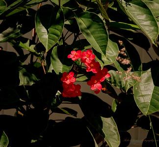 Spicy Jatropha (Jatropha integerrima)
