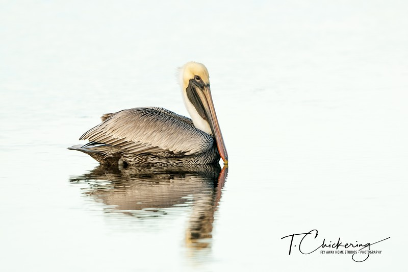 Brown Pelican Reflection-1546722458451.jpg