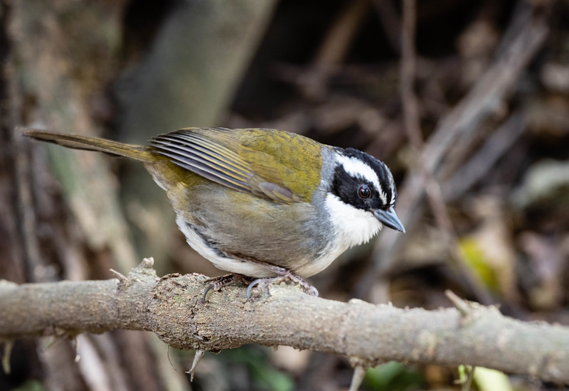 White-browed Brush Finch