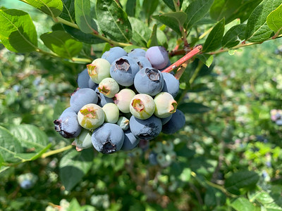 2019-07-08 Picking blueberries and buying local strawberries around Walla Walla