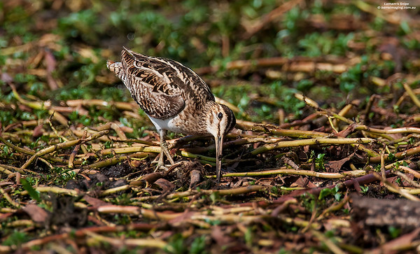 Sandpipers, Snipes, etcFamily Scolopacidae
