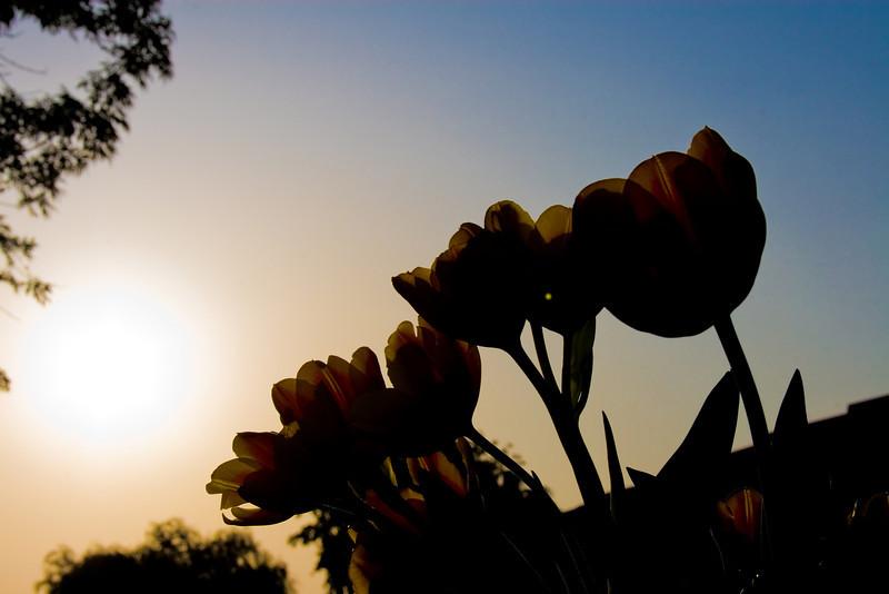 Tulips outdoor_32-Edit.jpg