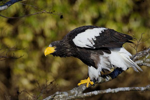 Eagles in Yakumo
