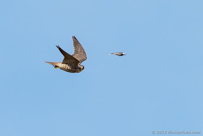 Vandrefalk (Peregrine - Falco peregrinus)