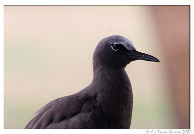 Seychelles Birds - Noddies