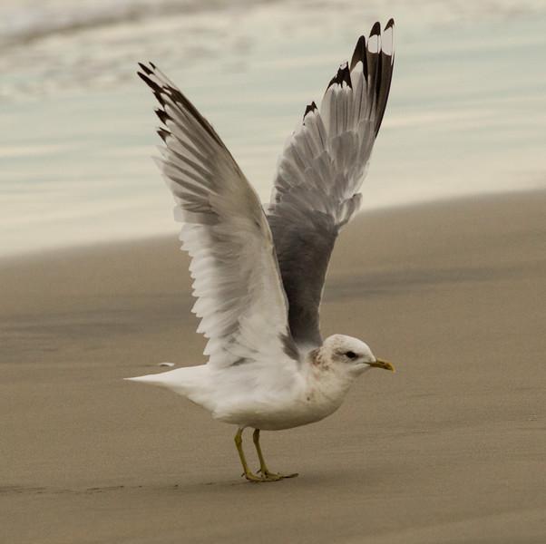 Mew Gull  Camp Pendleton  2015 01 29-9.CR2