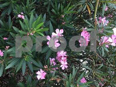 oleander-is-beautiful-but-very-toxic