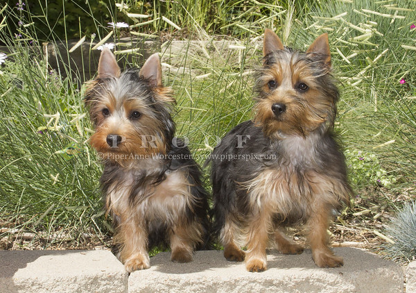 Silky Terrier_PAW