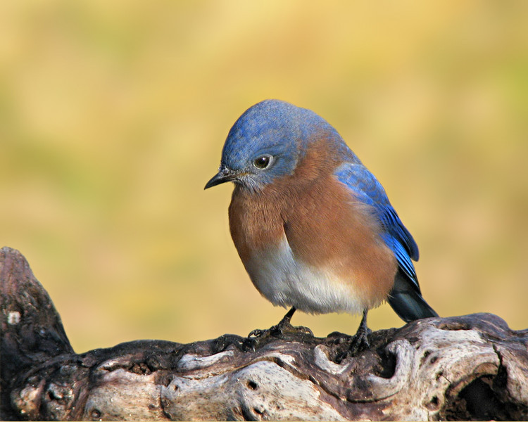 bluebird_1309.jpg