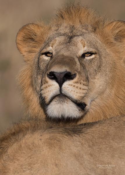 African Lion, Savuti, Chobe NP, Botswana, May 2017-10.jpg