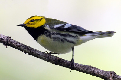 Warbler, Black-Throated Green