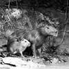 Capivara Mae e filhotes (sao 2) no Pantanal Matogrossense