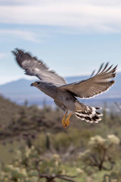 Gray Hawk.jpg