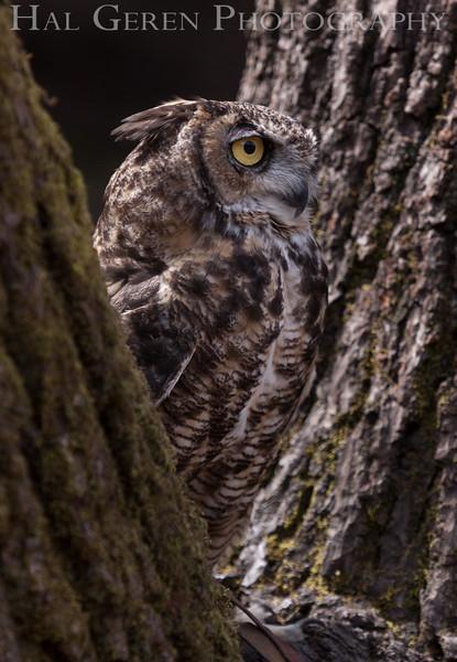 Great Horned Owl Hayward, California 1303S-GHO3