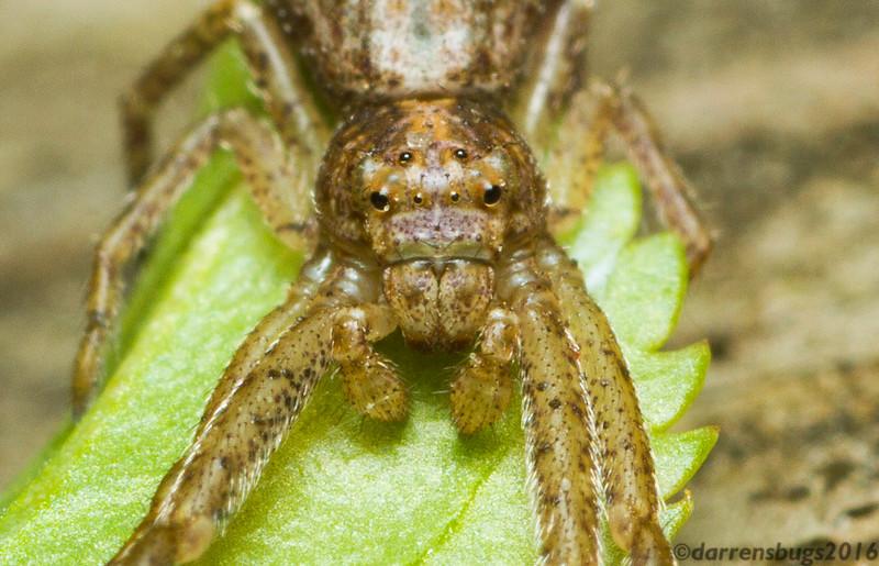 Crab spider in my backyard, Tmarus angulatus (Iowa, USA).