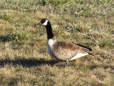 20120402 Canada Goose