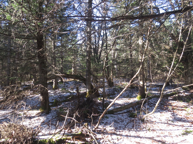 Start of the bushwhack to Willard summit, pretty typical of the woods.JPG