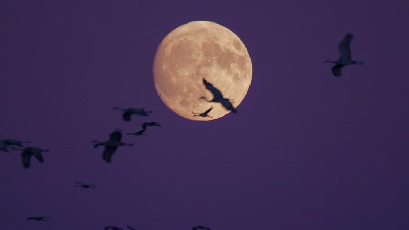 Sandhill Crane full moon fly in flight Crex Meadows Grantsburg WI P1044354.jpg