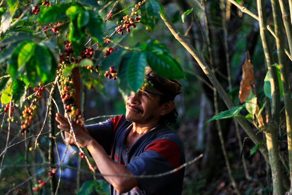 . A worker picks ripe coffee beans at the Santa Adelaida coffee cooperative in La Libertad, on the outskirts of San Salvador December 11, 2012. Once a family-owned coffee plantation split under a 1980 land reform, the Santa Adelaida coffee is now a cooperative dedicated to the production of organically-grown high ground coffee, which is certified by non-governmental organization Rainforest Alliance, and exported to Germany, the U.S., Britain and Japan. The coffee plantation is currently run by a cooperative of over 150 members. Picture taken December 11, 2012. REUTERS/Ulises Rodriguez