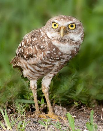 Burrowing Owls - June 26, 2011