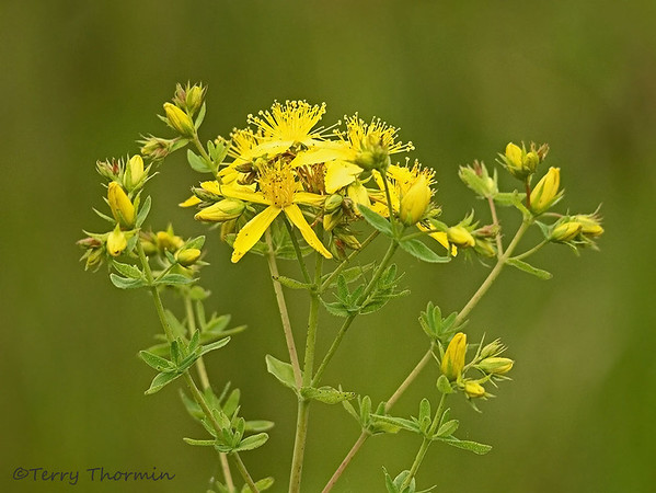St. John's-wort family, Clusiaceae