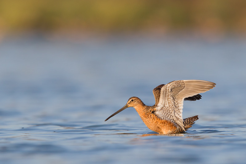 Long-billed Dowitcher - Radio Rd., Redwood City, CA, USA