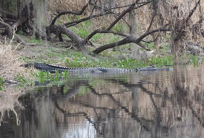 untitled20110203_Alligator MyakkaLakeFL_7I2B4636_11-02-03