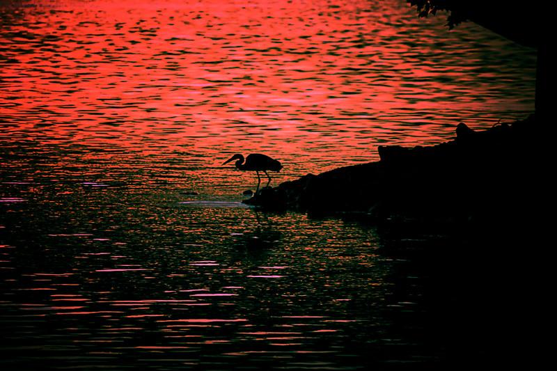 7.8.18 - HWY 12 Bridge: Great Blue Heron fishing.
