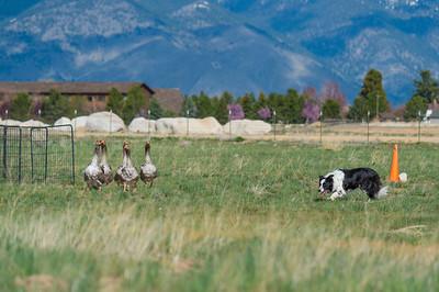 GSDC of Reno AKC Herding Tests & Trials - April 2019