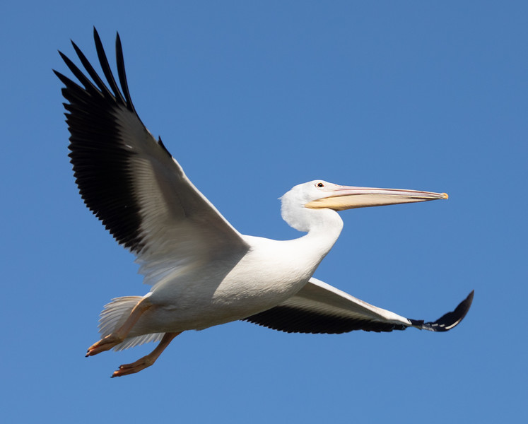 Pelican-Flight.jpg
