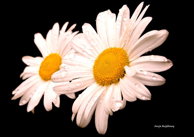 daisy again  (1 of 1).jpg
