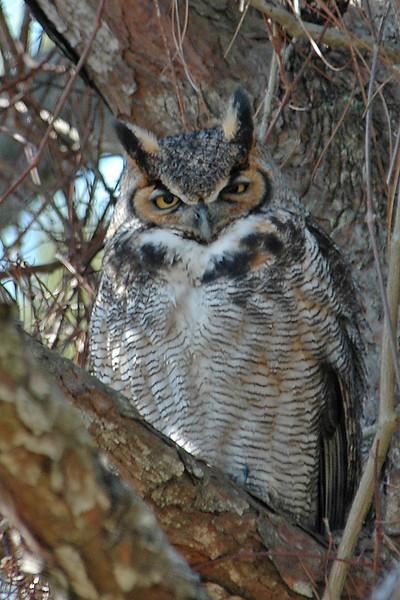 Owl - Great Horned - St. Joe's Peninsular State Park, FL