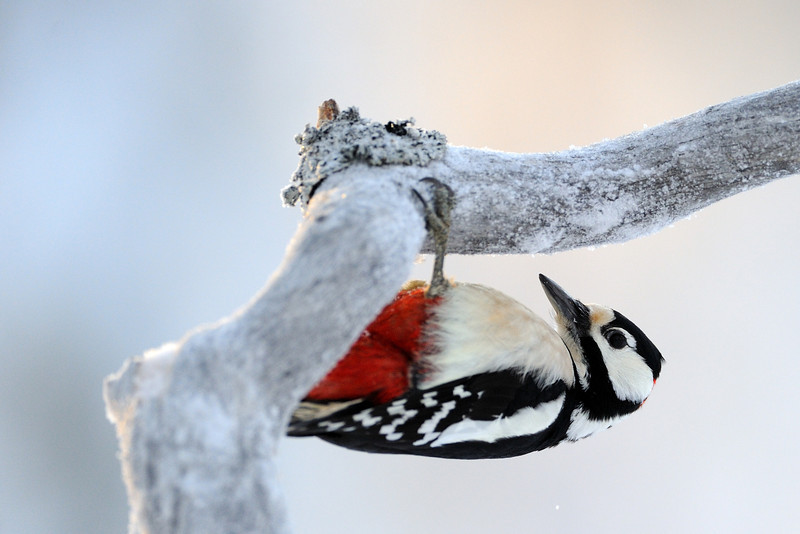 GS Woodpecker