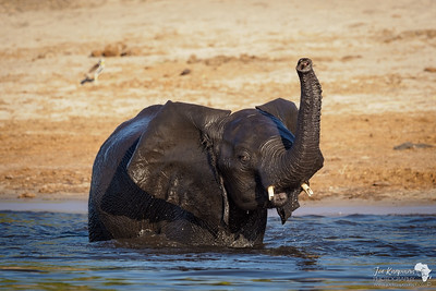 Young elephant enjoying the cool waters