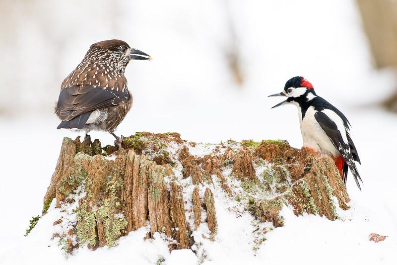 Nutcracker-Great spotted woodpecker
