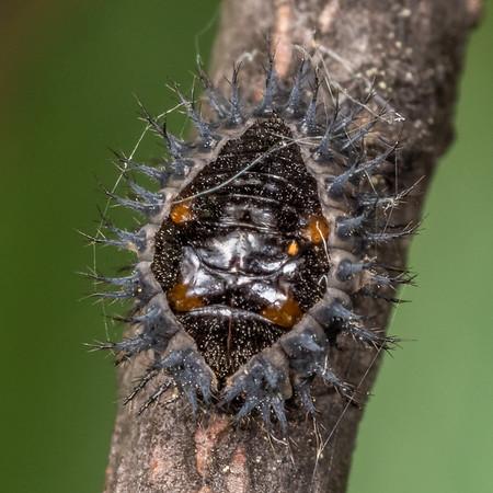 Ladybird pupae