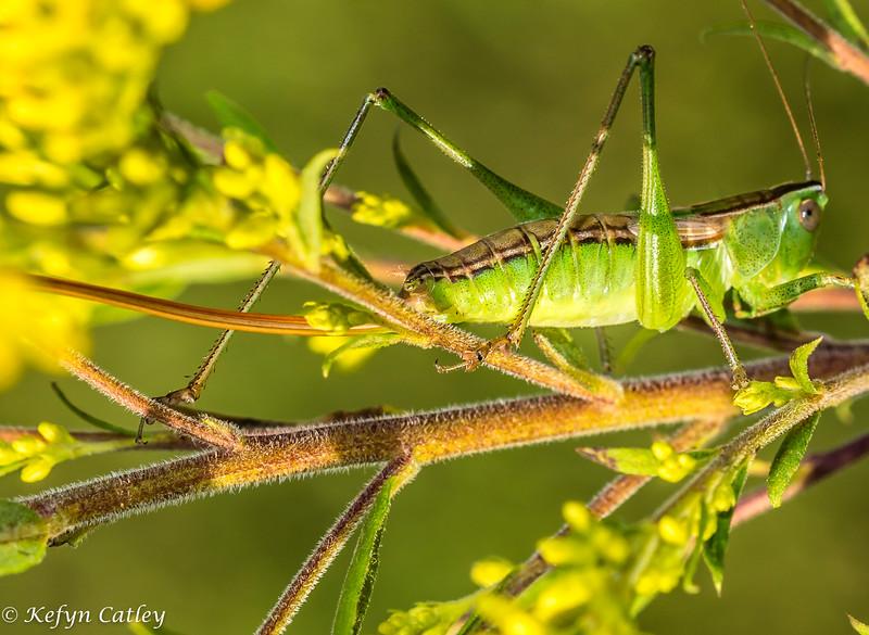 ORTHOPTERA: Conocephalinae: Conocephalus sp., meadow katydid